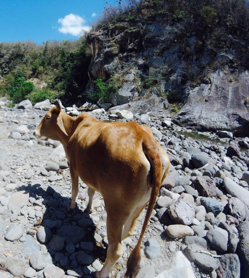 Somoto Canyon cow