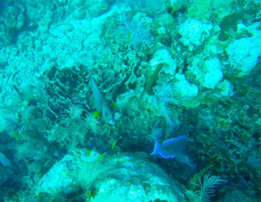 Angelfish Utila