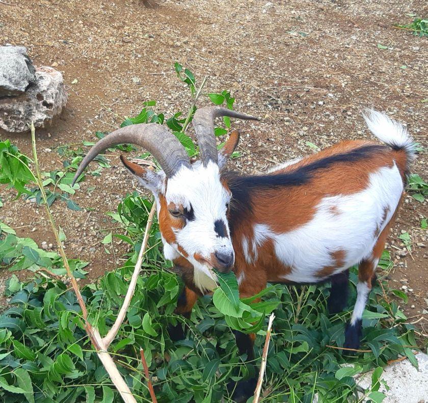 goat at Hofi Cas Cora