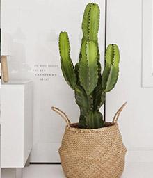 melopolitan-plantes-depolluantes-cactus