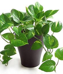 melopolitan-plantes-depolluantes-pothos