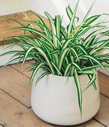 melopolitan-plantes-depolluantes-schlorophytum