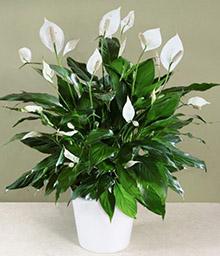melopolitan-plantes-depolluantes-spathiphyllum