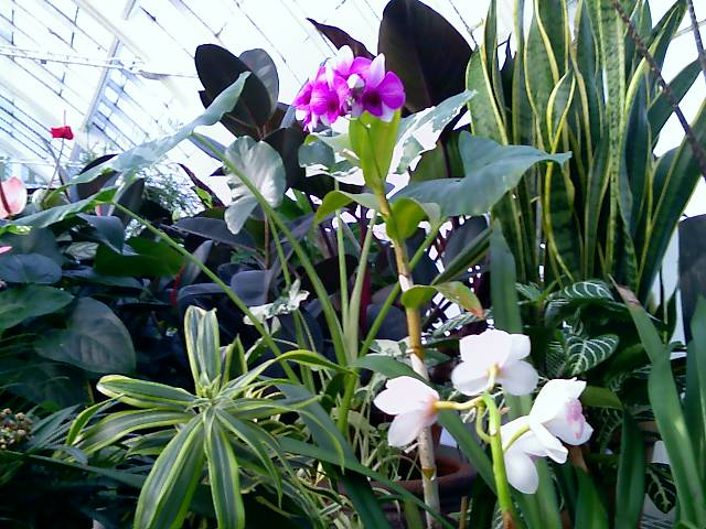 orchids in the sf conservatory of flowers