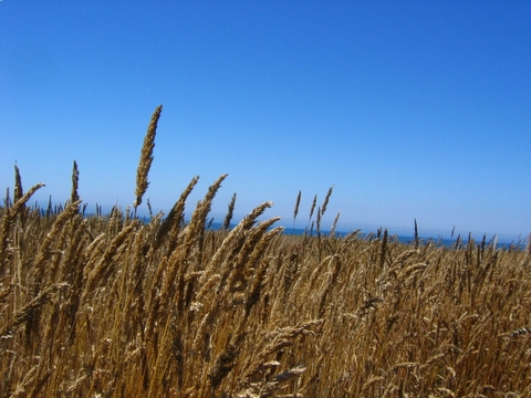 grass on the headlands