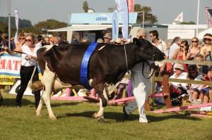 dairy champion Melplash Show 2013