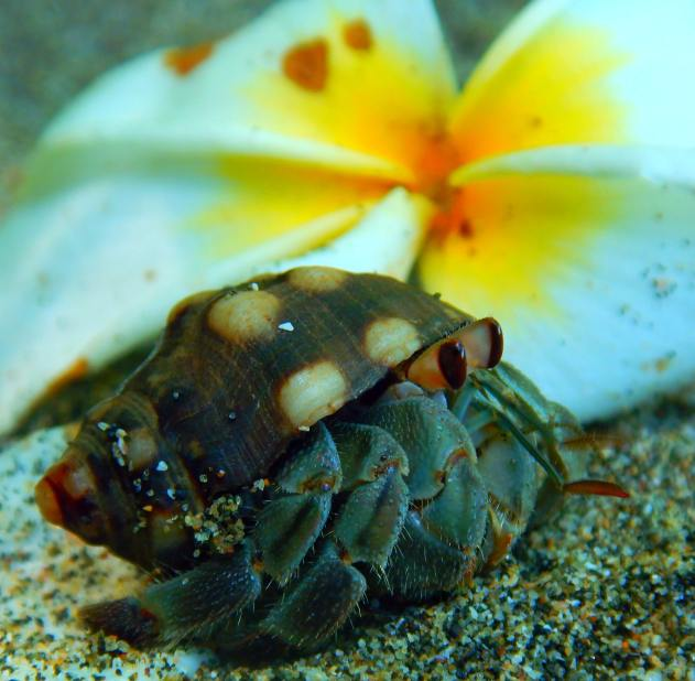 one of a kind pets: Hermit crab