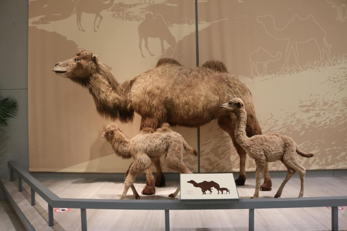 Camel exhibit at Shanghai Natural History Museum