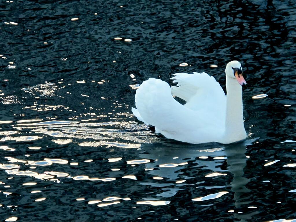 A swan in Lucerne