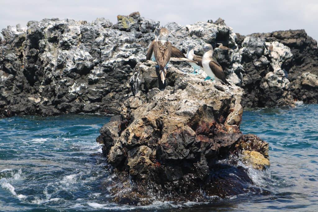 A group of blue-footed boobies perched on a rock near Isabela, Galapagos Islands