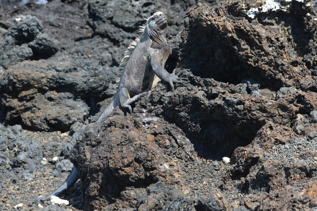 A marine iguana perched on a rock at Las Tintoreras, Isabela, Galapagos