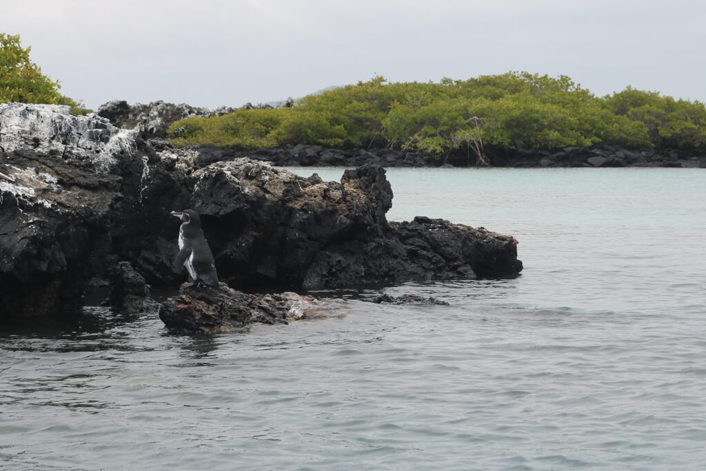 A Galapagos penguin standing on a rock near Isabela Island