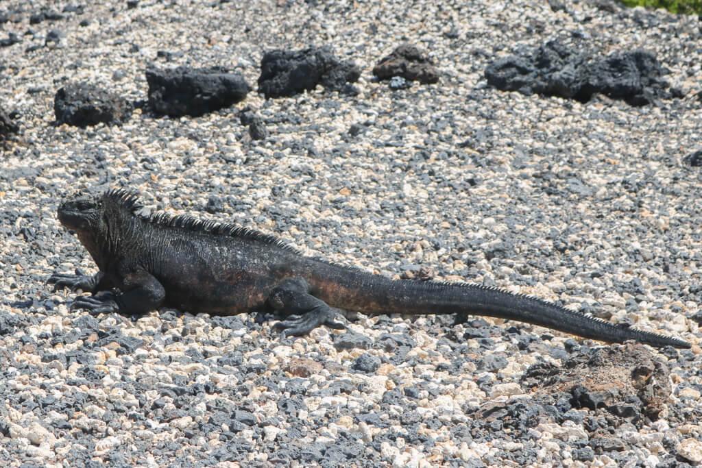 A marine iguana enjoys the sun at Las Tintoreras near Isabela, Galapagos Islands