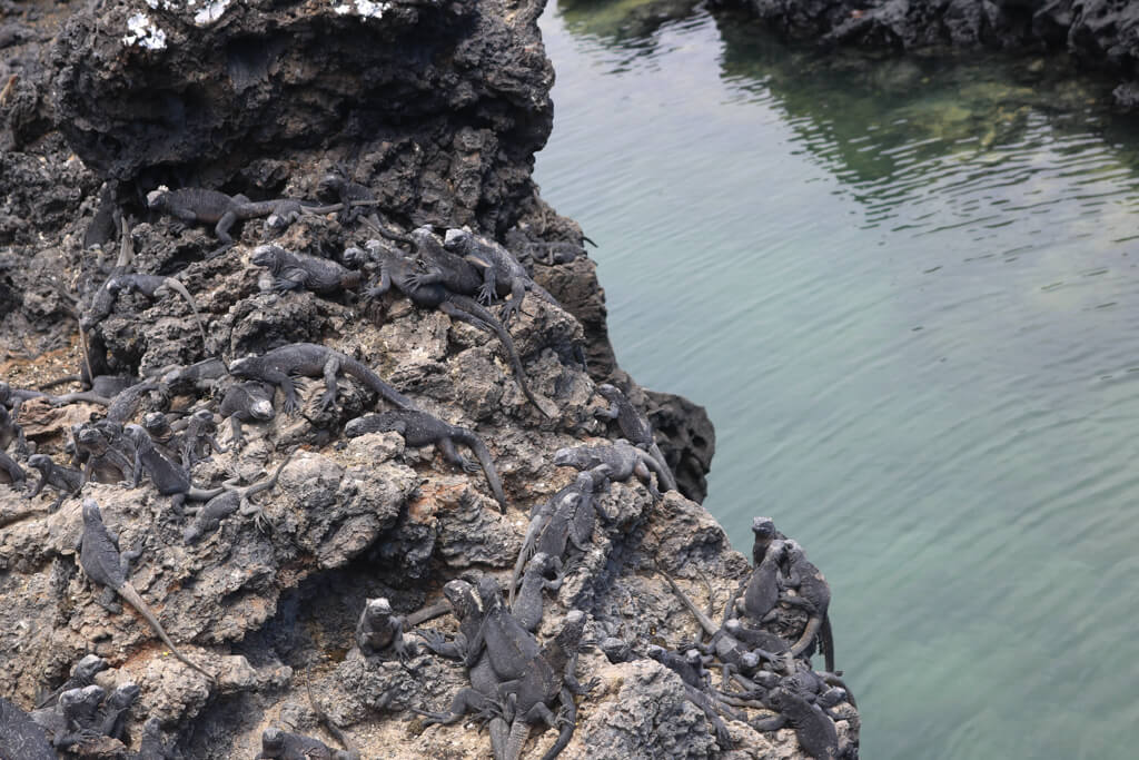 Young marine iguanas basking in the sun at Las Tintoreras, an islet near Isabela Island in the Galapagos