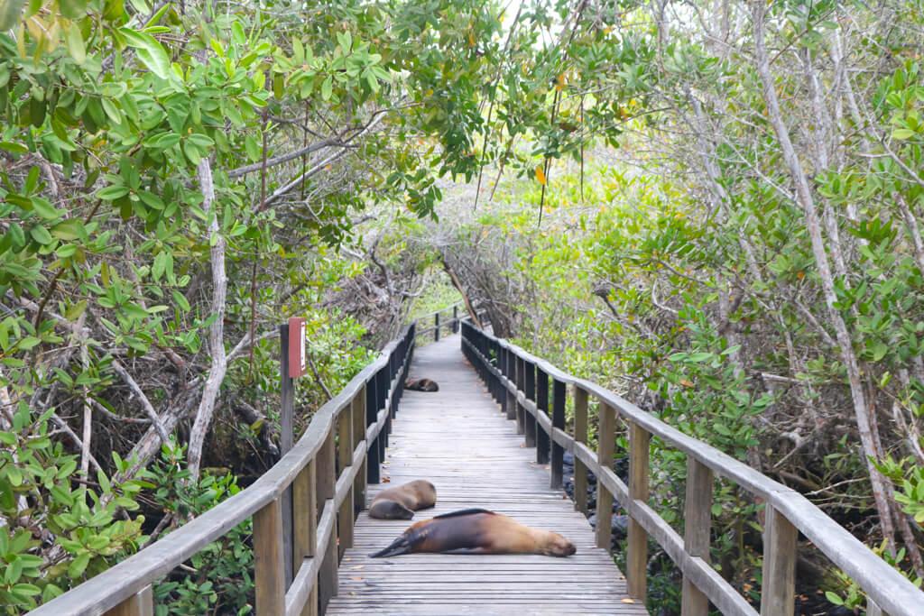 Sleeping sea lions on the path to Concha de Perla on Isabela Island.
