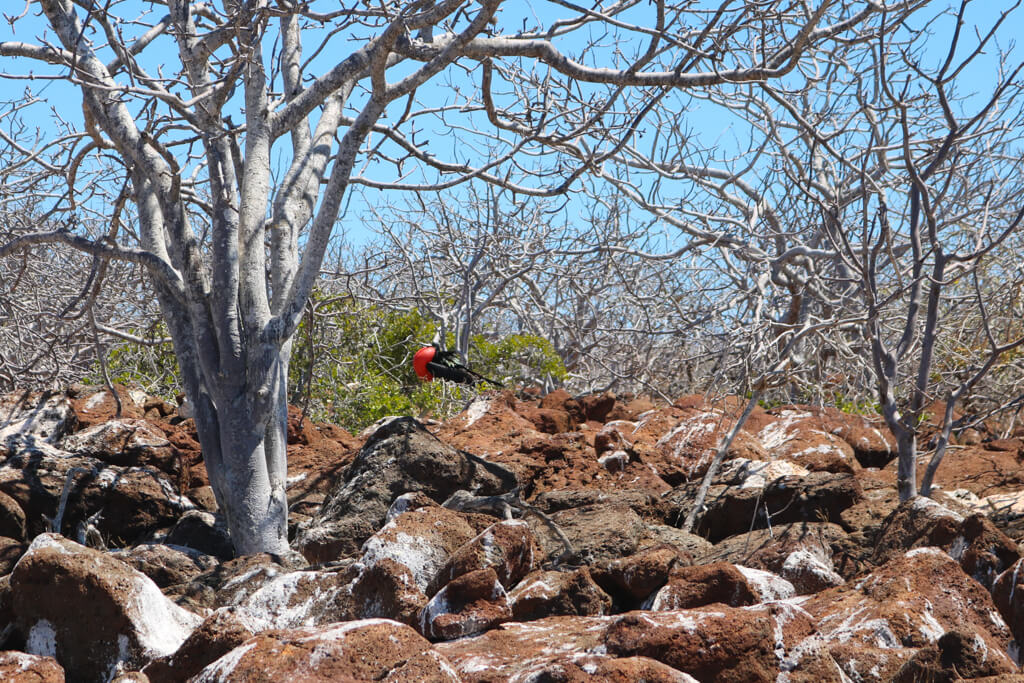 A red chested frigate bird with his pouch inflated on North Seymour in the Galapagos