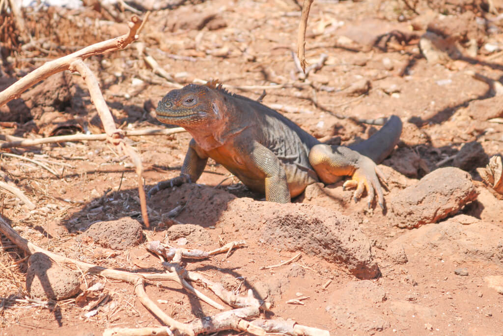 A yellow land iguana in the Galapagos Islands