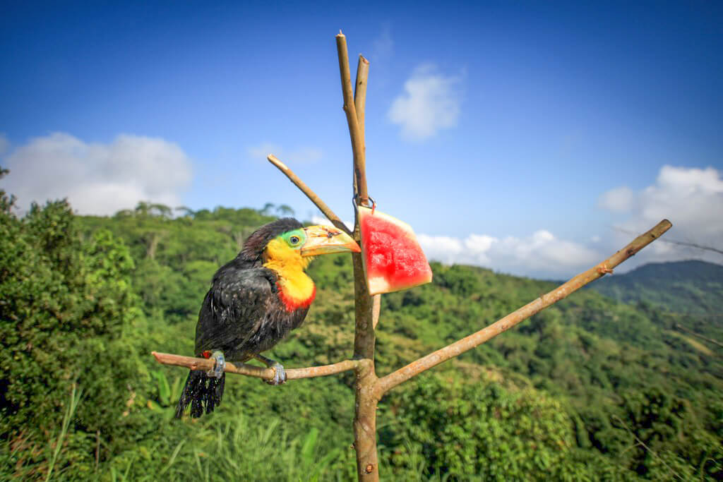 A toucan perches on a tree in the forest of Minca, Colombia