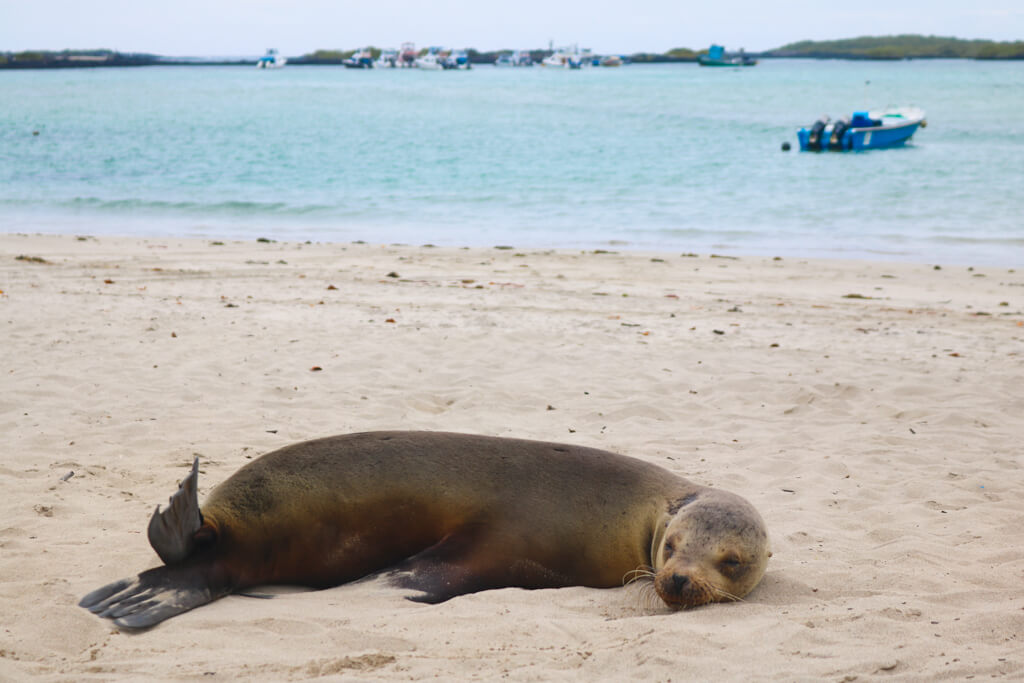 A sea lion naps on the beach near the docks on Isabela Island