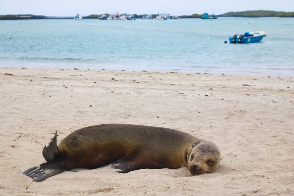 A sea lion naps on the beach near the docks on Isabela Island