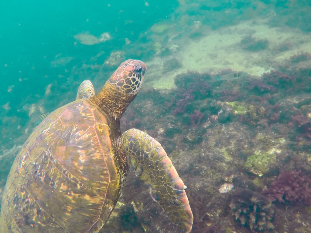 A sea turtle seen on a snorkeling excursion at Los Tuneles, Isabela, Galapagos Islands