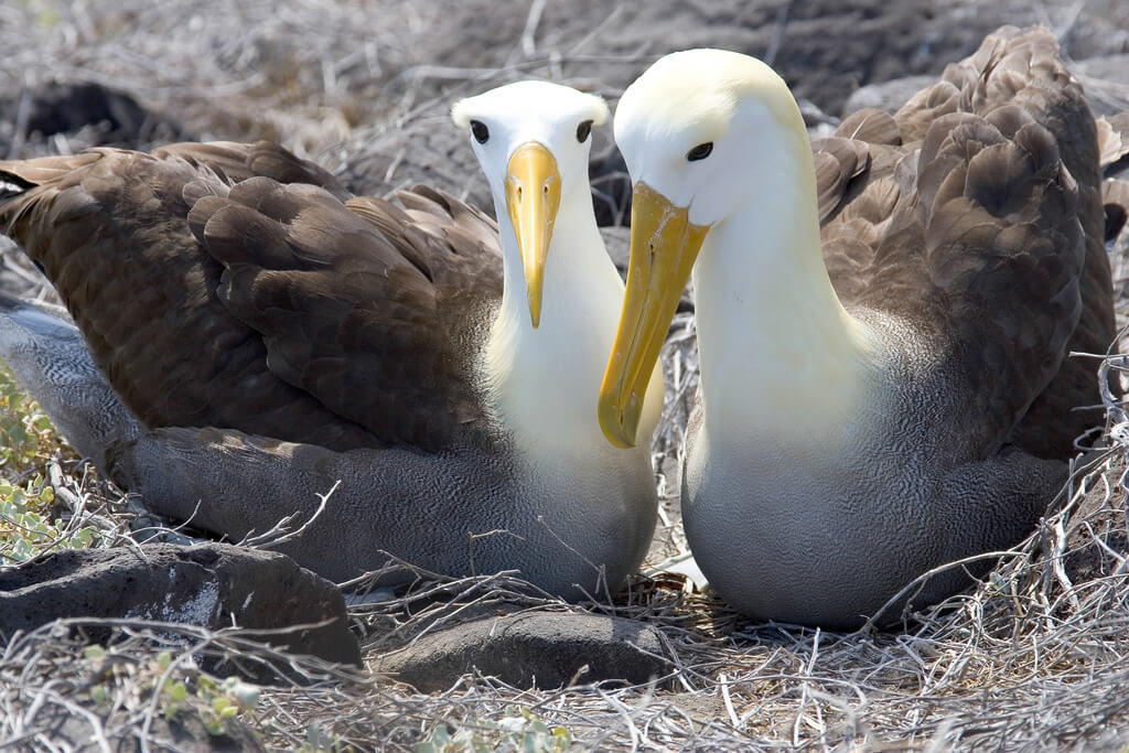 Waved Albatross pair on Espanola Island in the Galapagos