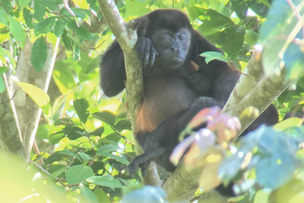 A howler monkey naps in a tree in Manuel Antonio National Park