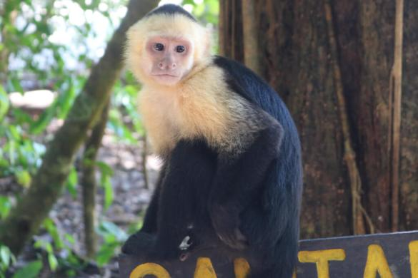 The capuchin monkey is the most common monkey in Manuel Antonio National Park in Costa Rica