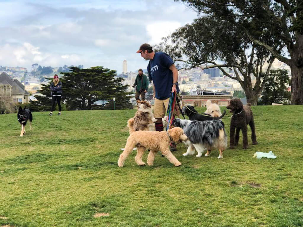 A dog trainer with many dogs in Alamo Square Park, San Francisco
