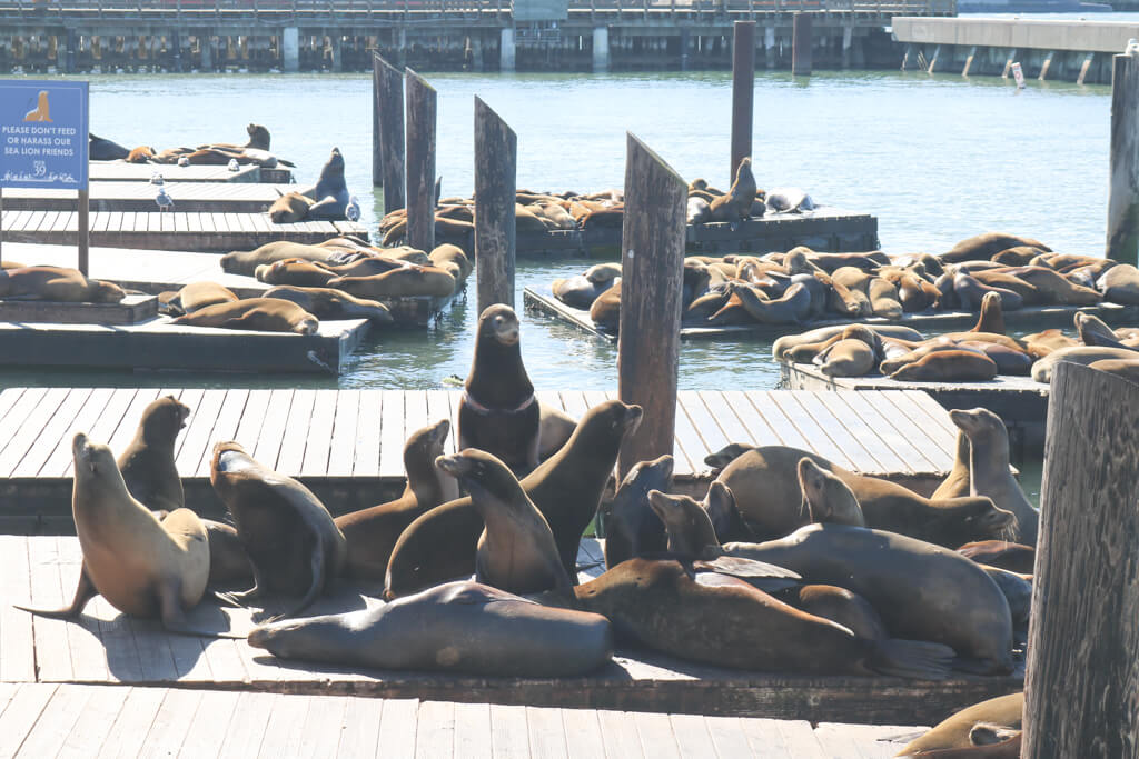 A group of excited sea lions at Pier 39, San Francisco