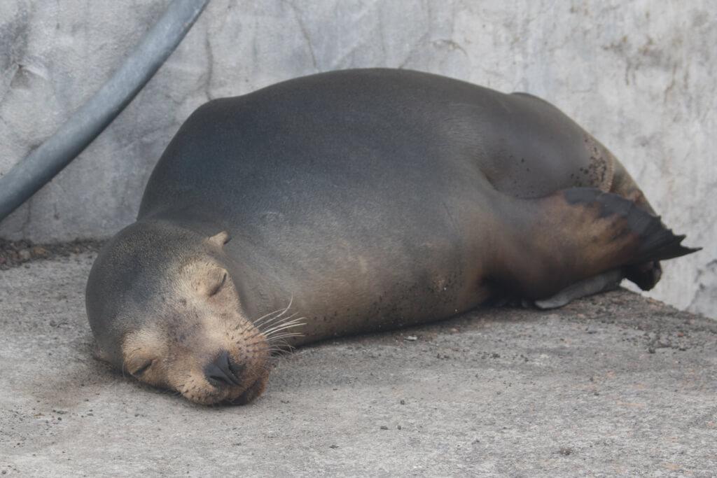 A sleepy sea lion at the main pier on Floreana Island