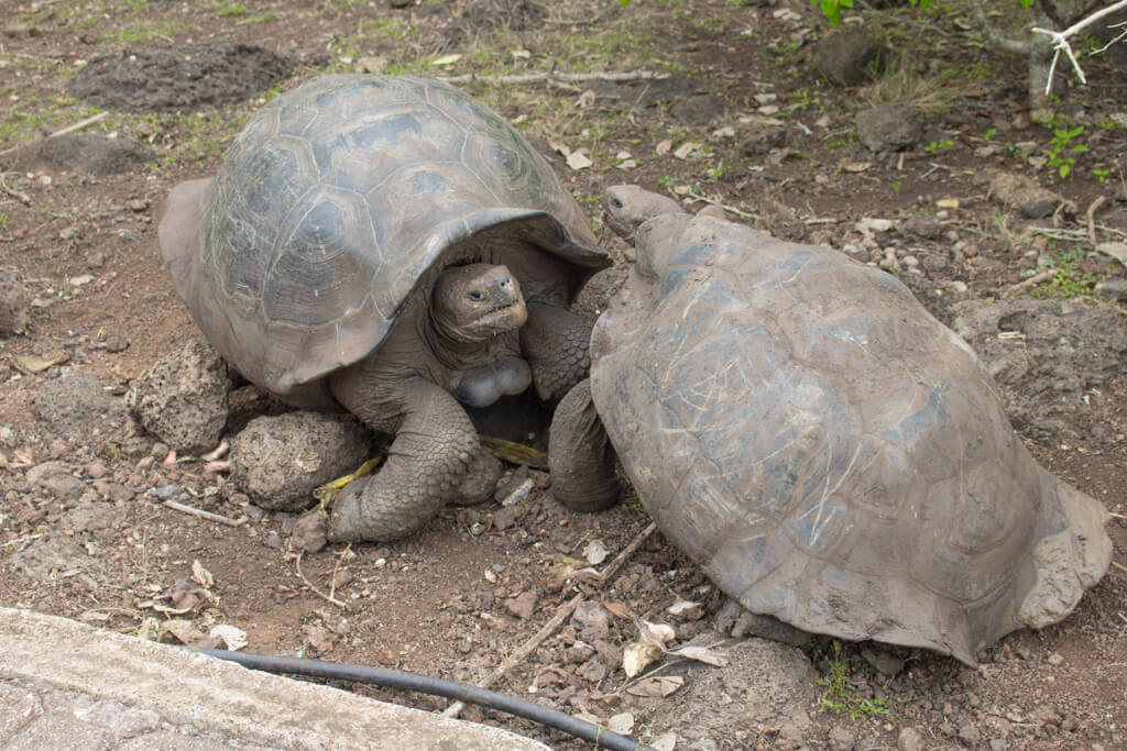 Giant tortoises at the Galapaguera Tortoise Reserve on San Cristobal Island in the Galapagos