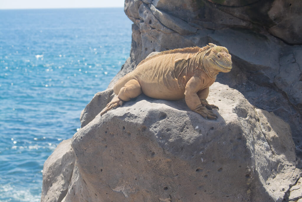 The Santa Fe Land Iguana is endemic to Santa Fe Island in the Galapagos