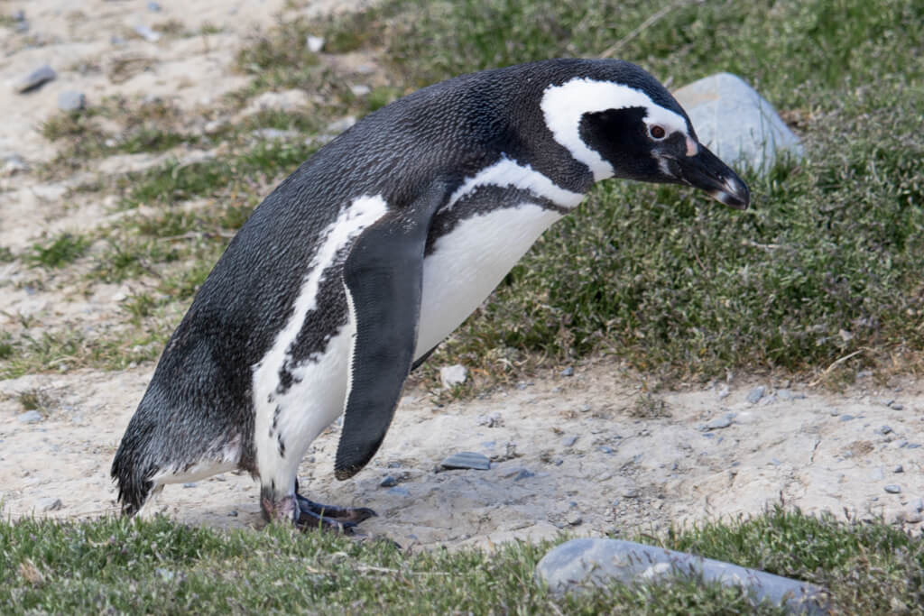 A penguin strolls around Isla Magdalena