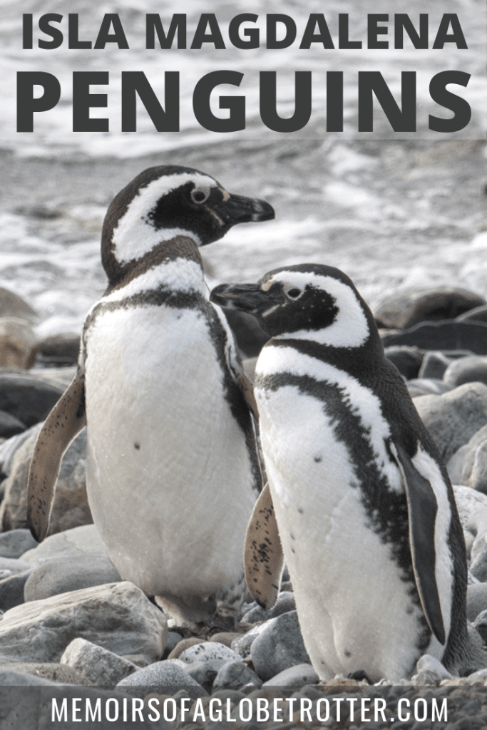 Isla Magdalena is the best day trip from Punta Arenas, Chile. Isla Magdalena is home to a large colony of Magellanic penguins.