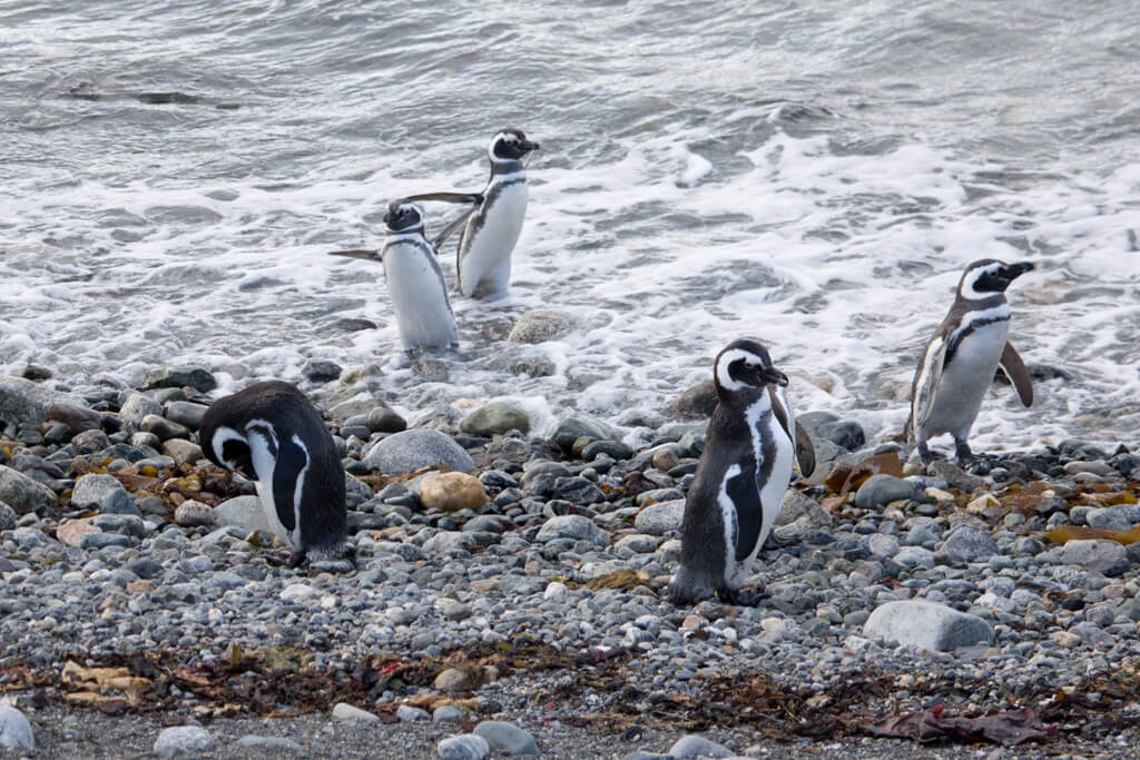 Penguins swimming and enjoying the beach on Isla Magdalena