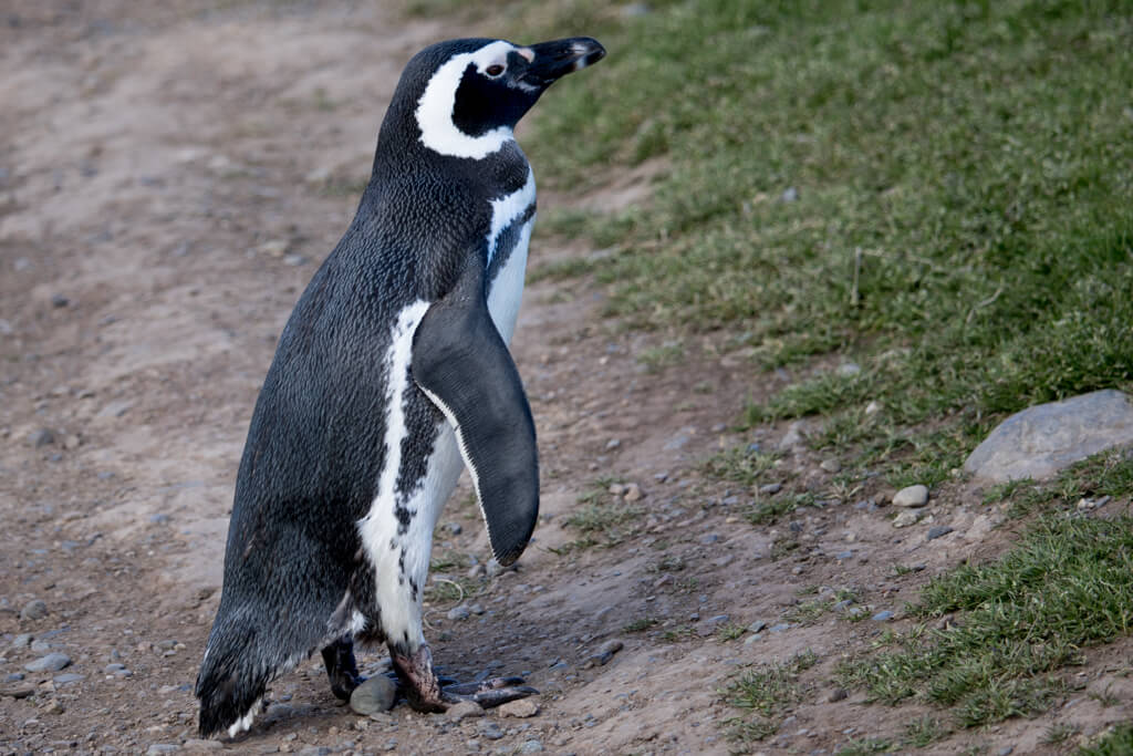 A curious penguin crosses the path on Isla Magdalena