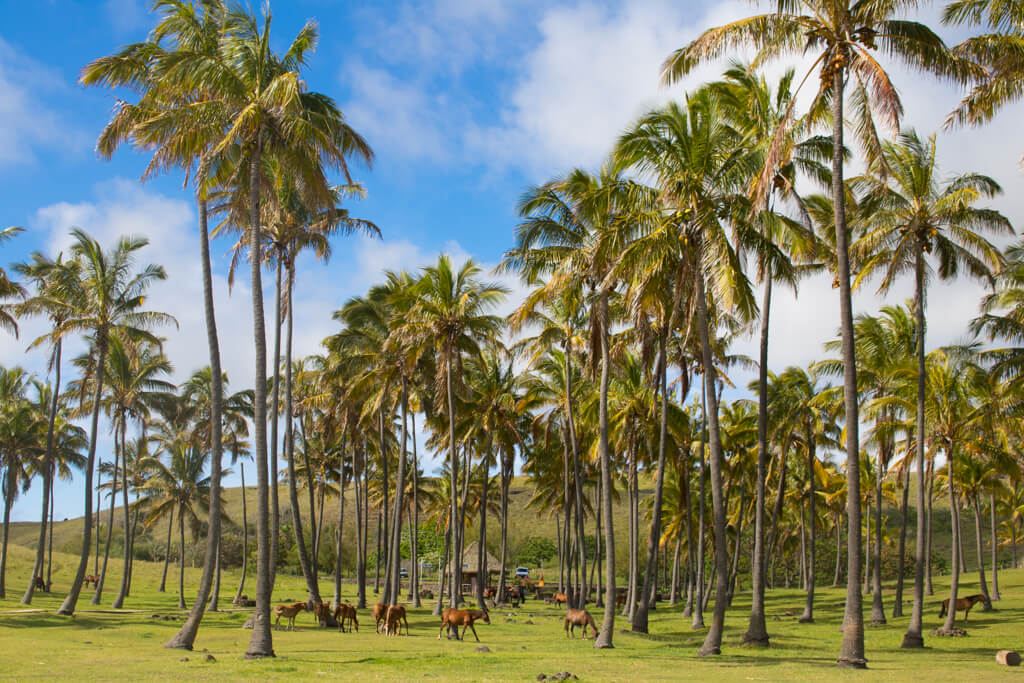 The palm trees on Anakena Beach on Easter Island were imported from Tahiti