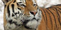 Dua Harimau Sumatera Liar Terkam Sapi Warga di Pelalawan