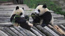 'Panda China-Sichuan Night' Launches Inaugural China Giant Panda International Culture Week