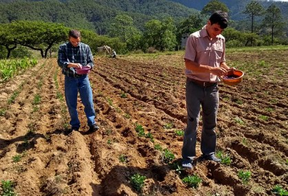Farming the local way- planting peanuts between the bean rows_