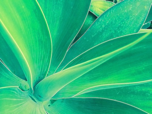 Tangled Agave © lynette sheppard