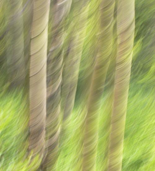 Summer Aspens © lynette sheppard
