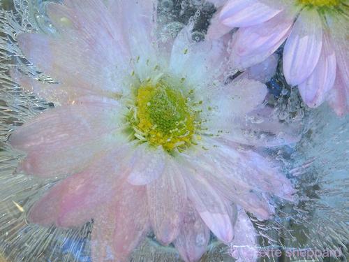 frozen flower © lynette sheppard