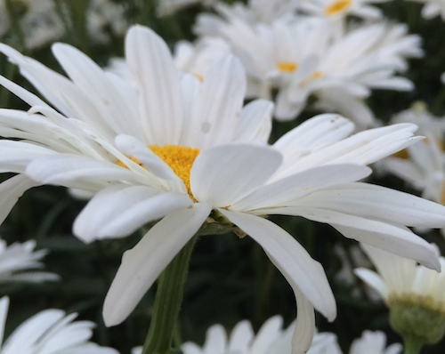Daisies © lynette sheppard
