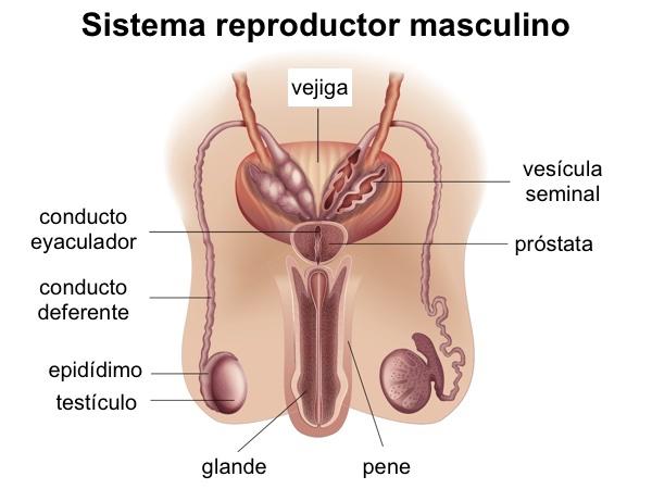 eyaculación para la próstata duetro