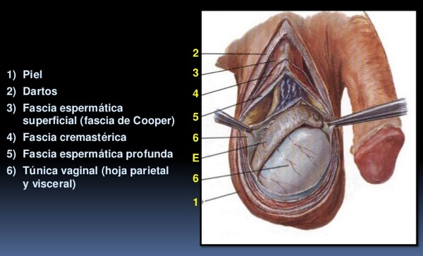 Cuáles son las 7 capas del testículo y qué función tienen?