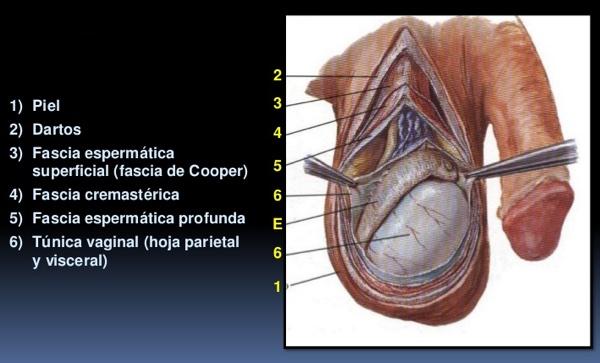 ¿Cuáles son las 7 capas del testículo y qué función tienen?