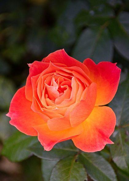 fotos de rosas 6