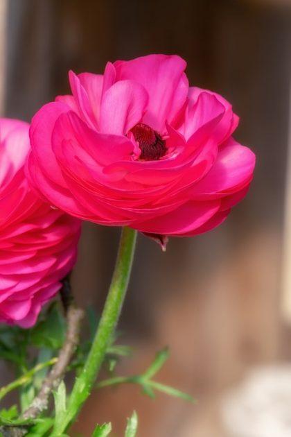 fotos de rosas 9